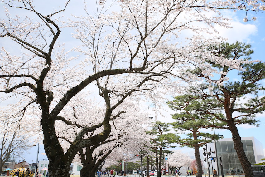 十和田市官庁街通りの桜